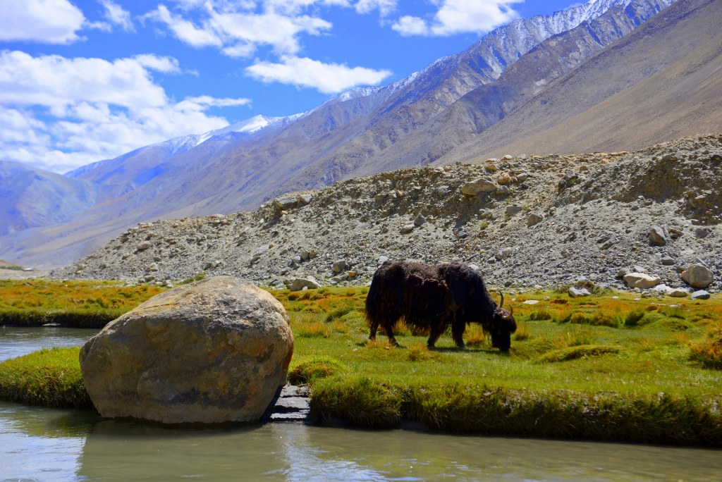 furry_yak_eating_grass_on_a_riverbank_in_the_himalayas