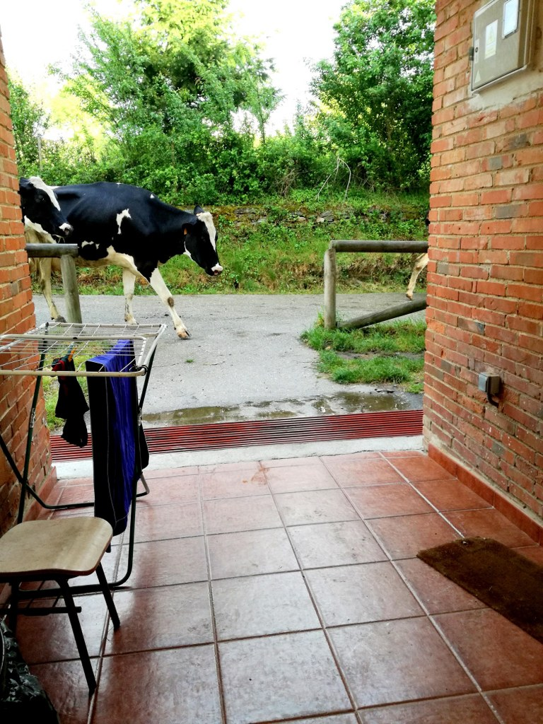 cow_walking_in_front_of_a_mountain_shelter
