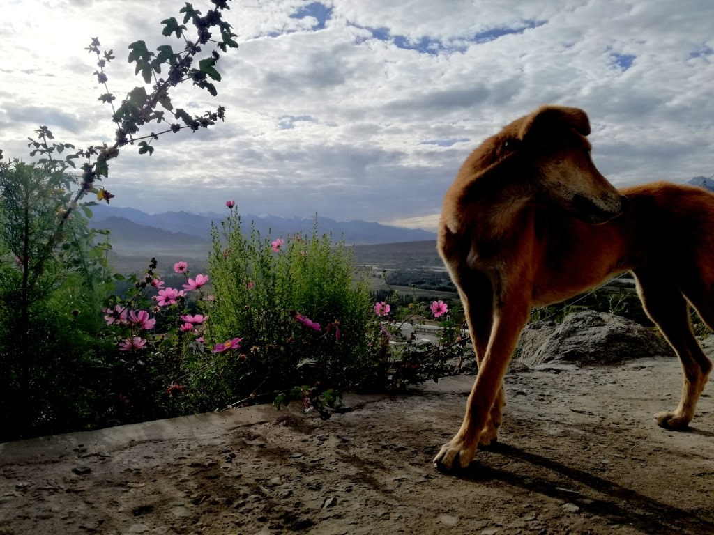 ginger_dog_standing_at_the_top_of_a_hill