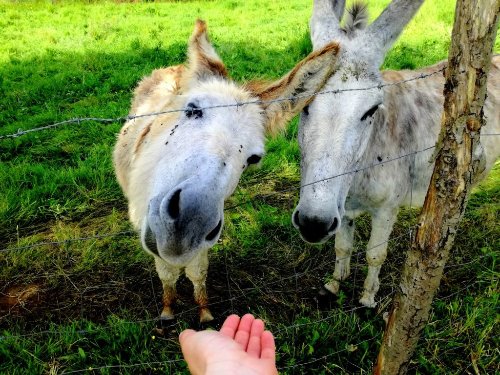 hand_reaching_toward_horses_trying_to_feed_them