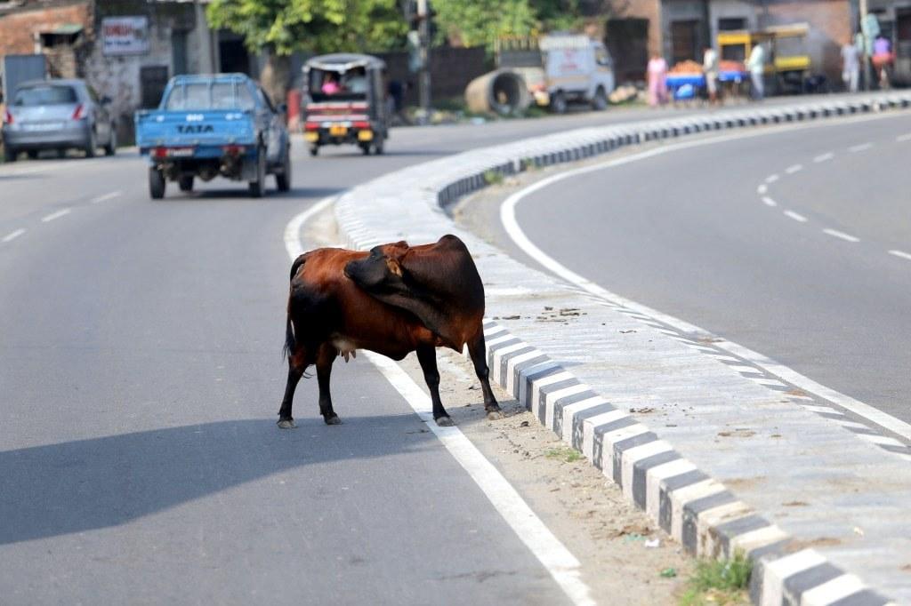 huge_cow_walking_on_a_road