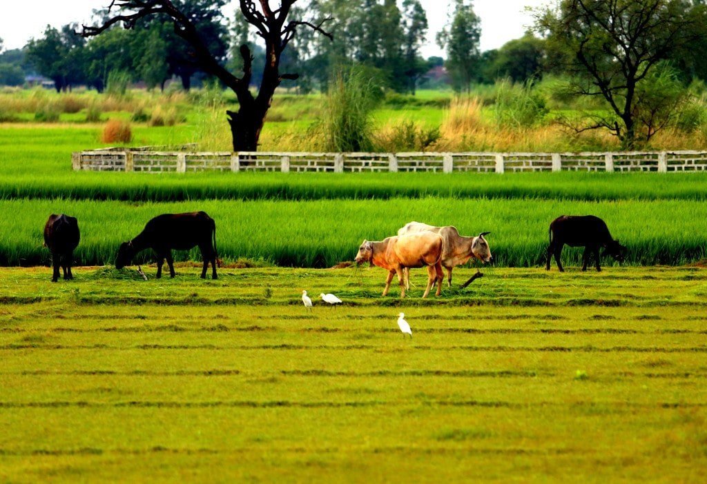 cows_and_dogs_on_a_green_field