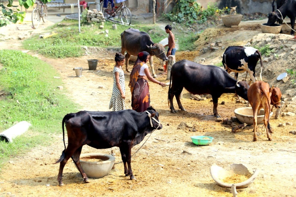 dogs_cows_and_indian_women_standing