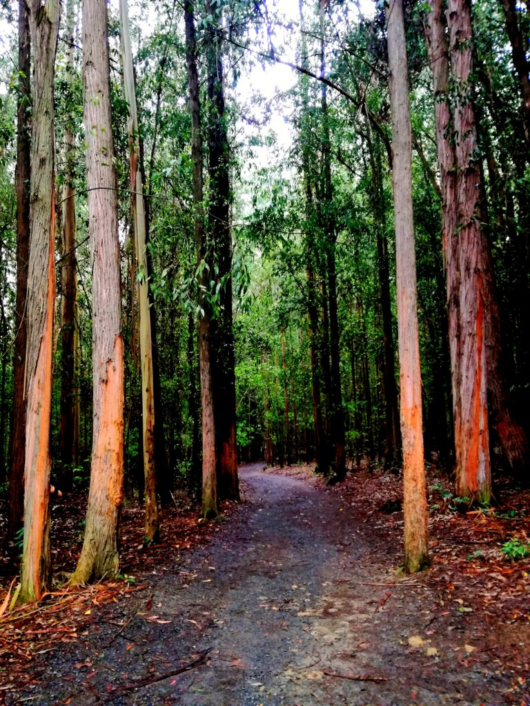 eucalyptus_forrest