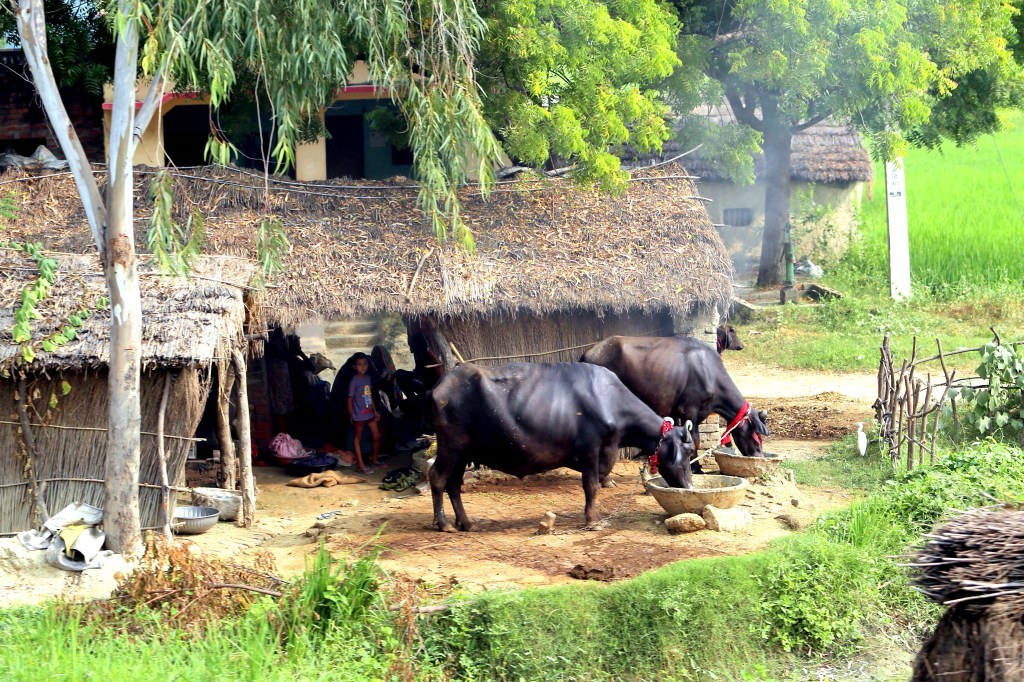 indian_villeage_cows_and_kids_playing_together