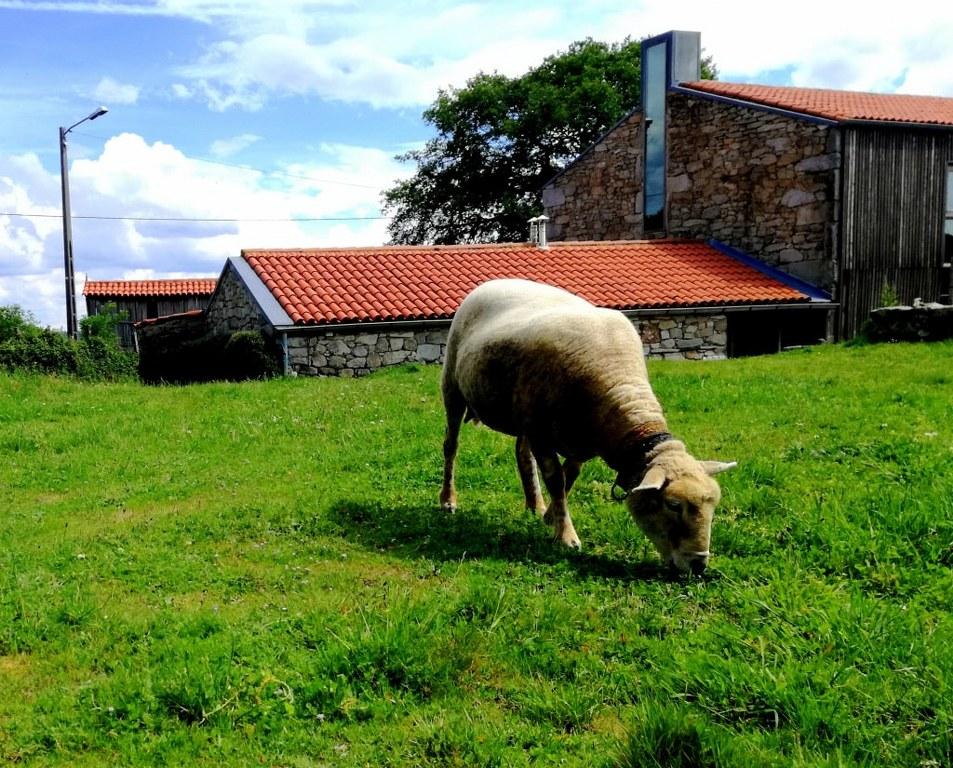 sheep_eating_green_grass