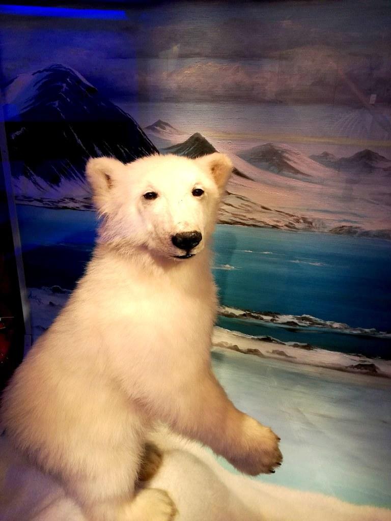 an_artificial_polar_bear_in_a_museum