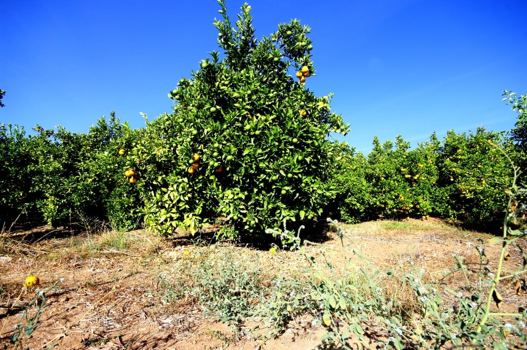 orange_orchard_in_the_south_of_portugal