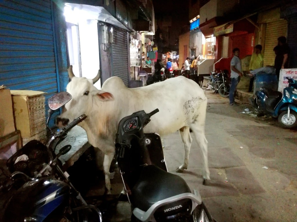 a+white_cow_walking_on_a_narrow_street_in_agra