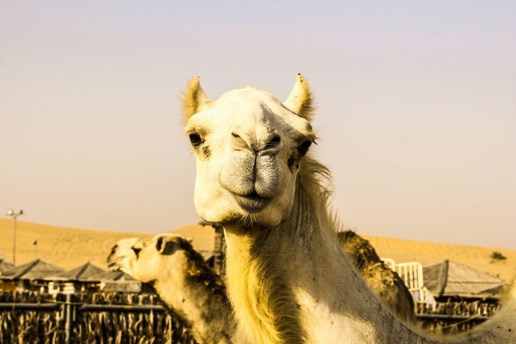 a_close_up_of_camels_head