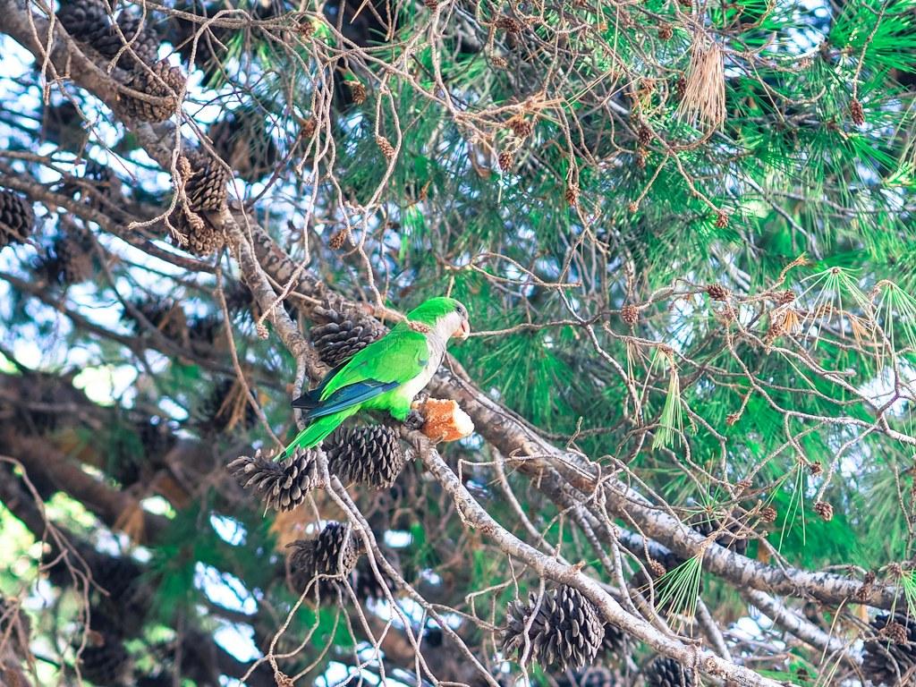 green_aprrots_sitting_on_a_tree