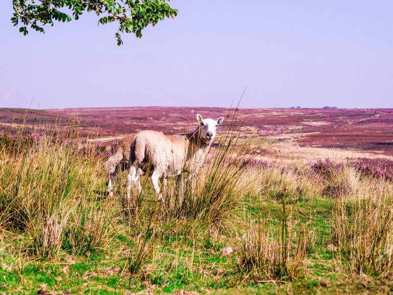 a_baby_lamb_walking_in_yorkshire_moors_national_park