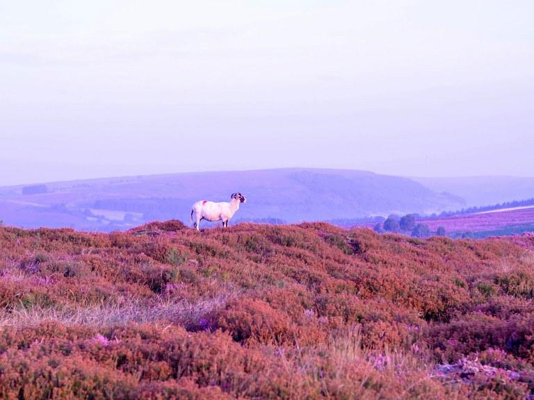 violet_land_of_blowing_moors