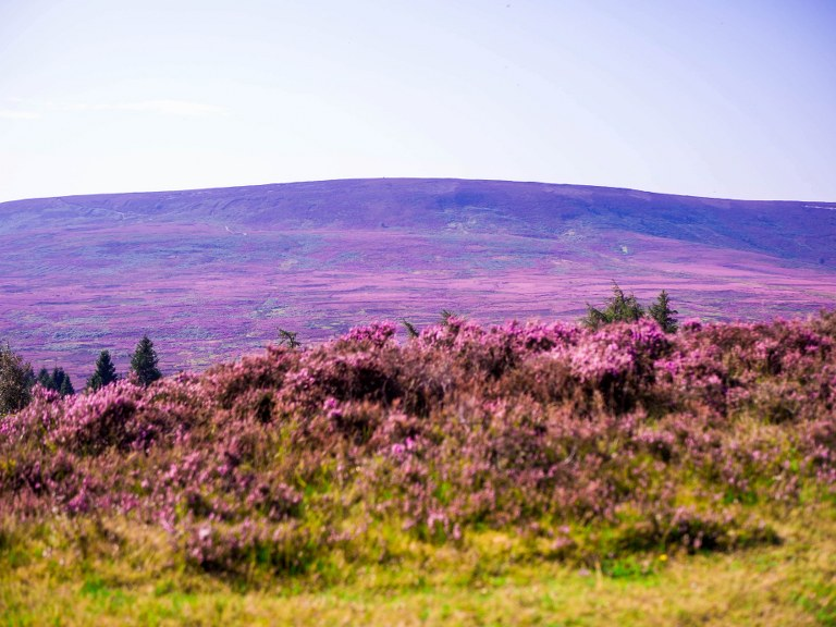 violet_plants_in_yorshire_moors