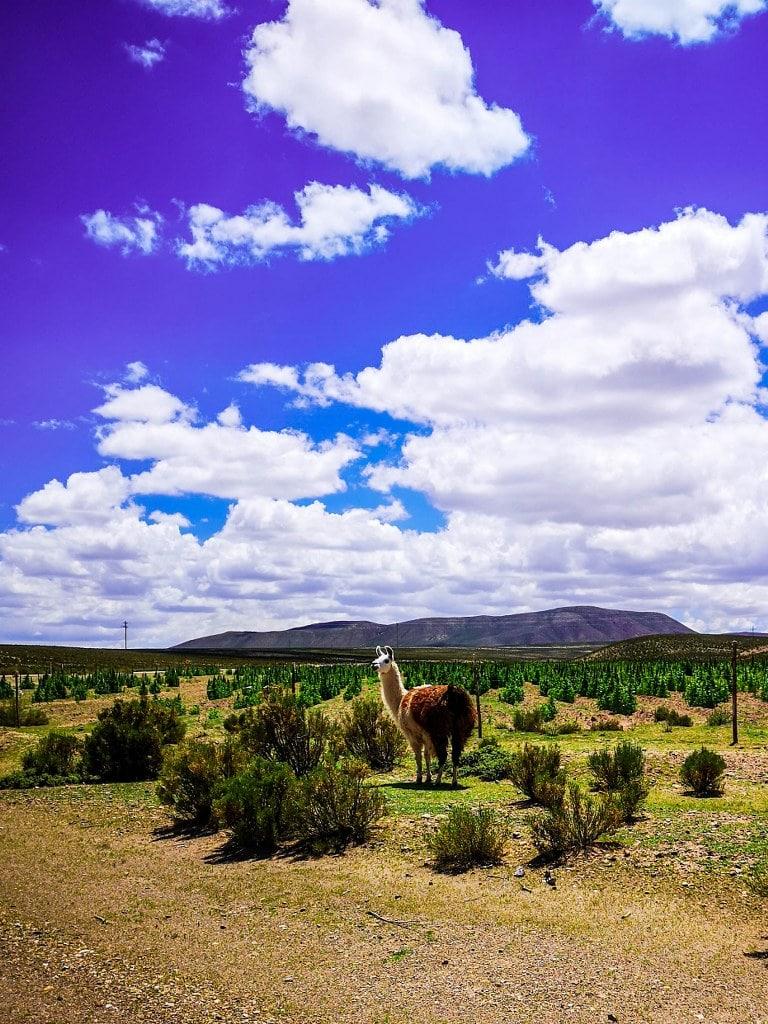 alpaca-in-boliwian-steps
