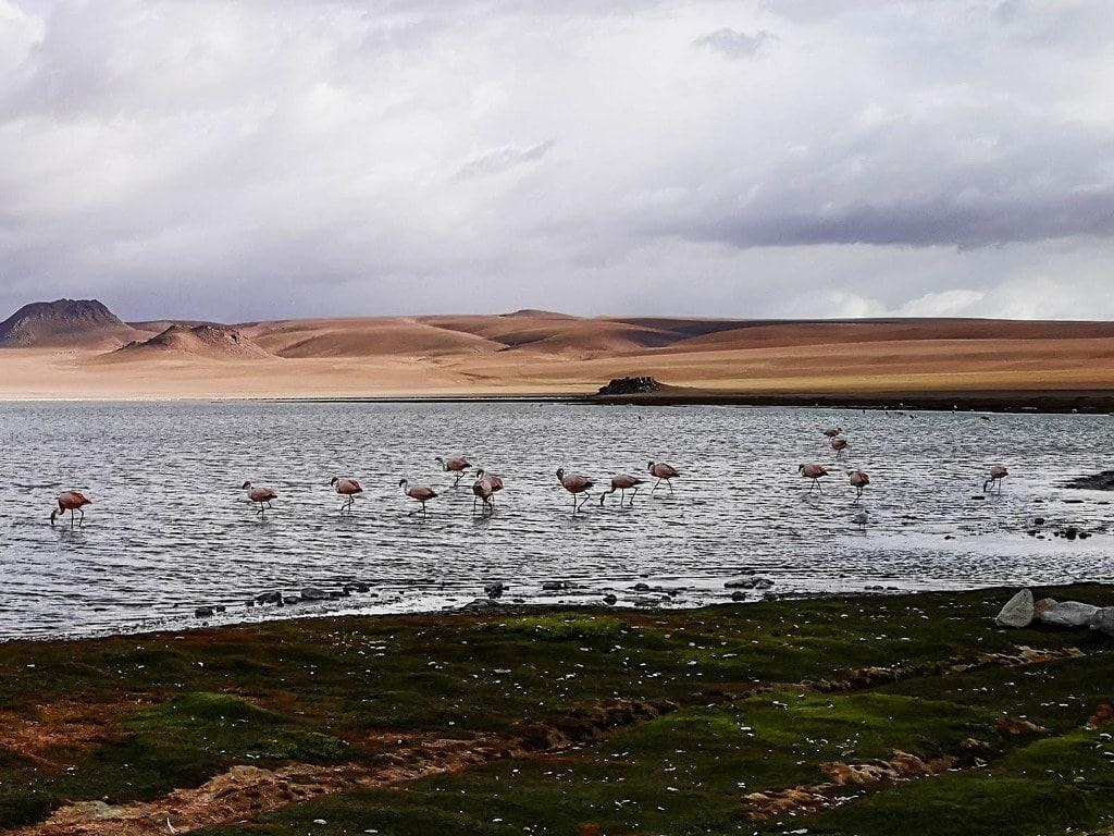 flamingos-in-laguna-colorado-boliwia