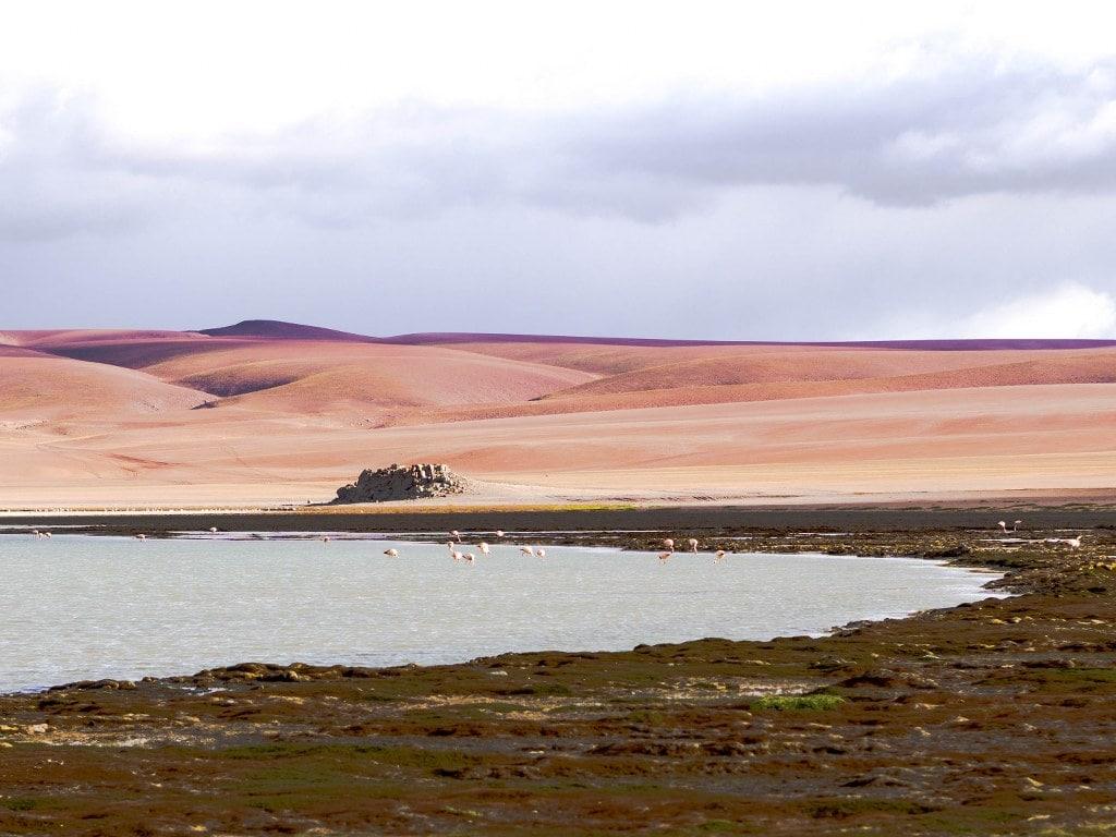 pink-flamingos-walking-through-laguna-colorado