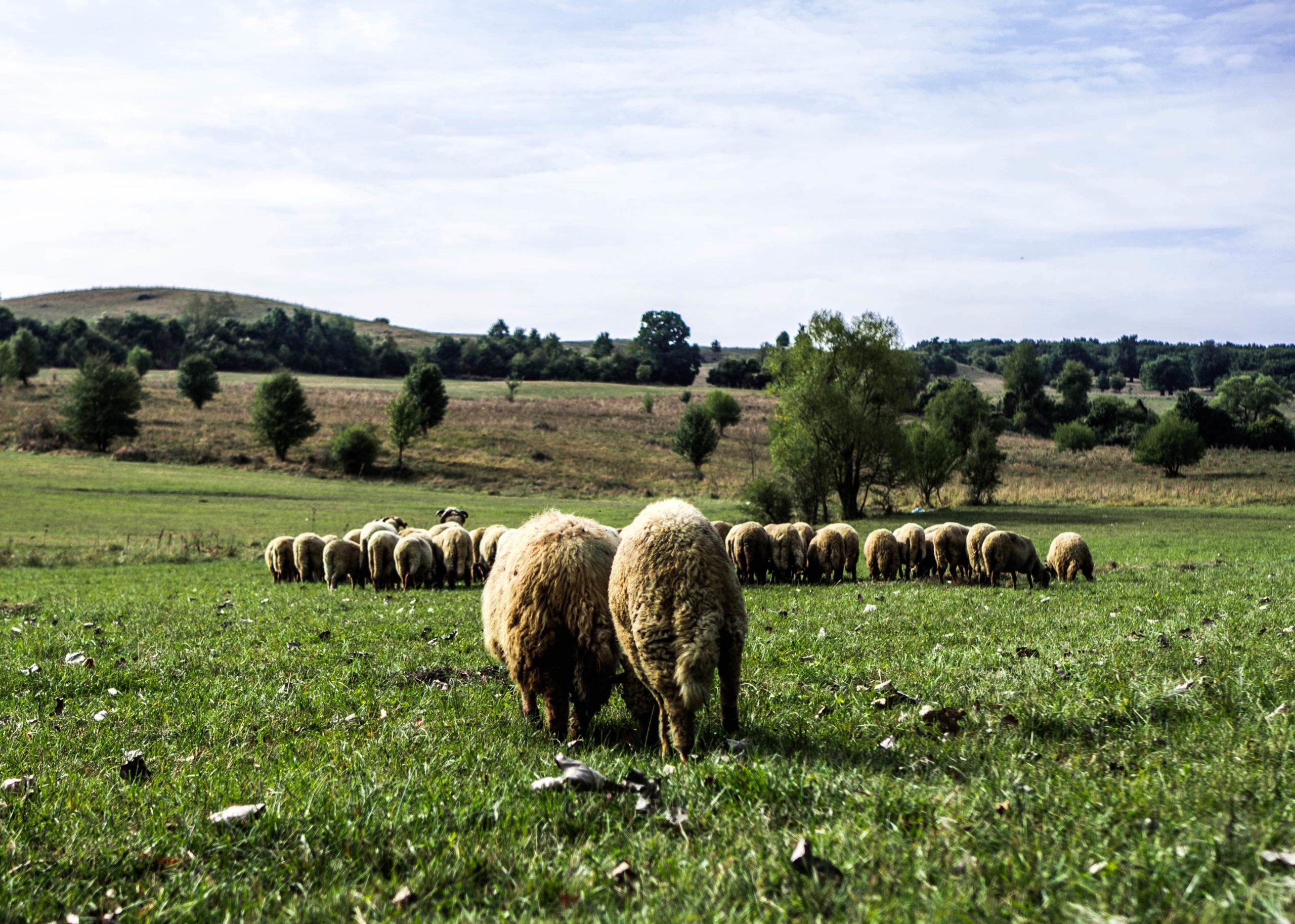 romanian-fields-full-of-sheeps