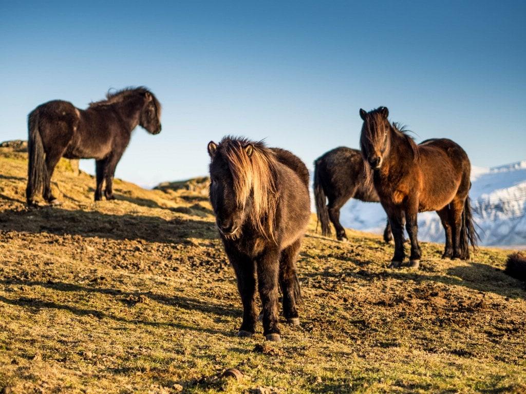 islandzkie-konie-zima