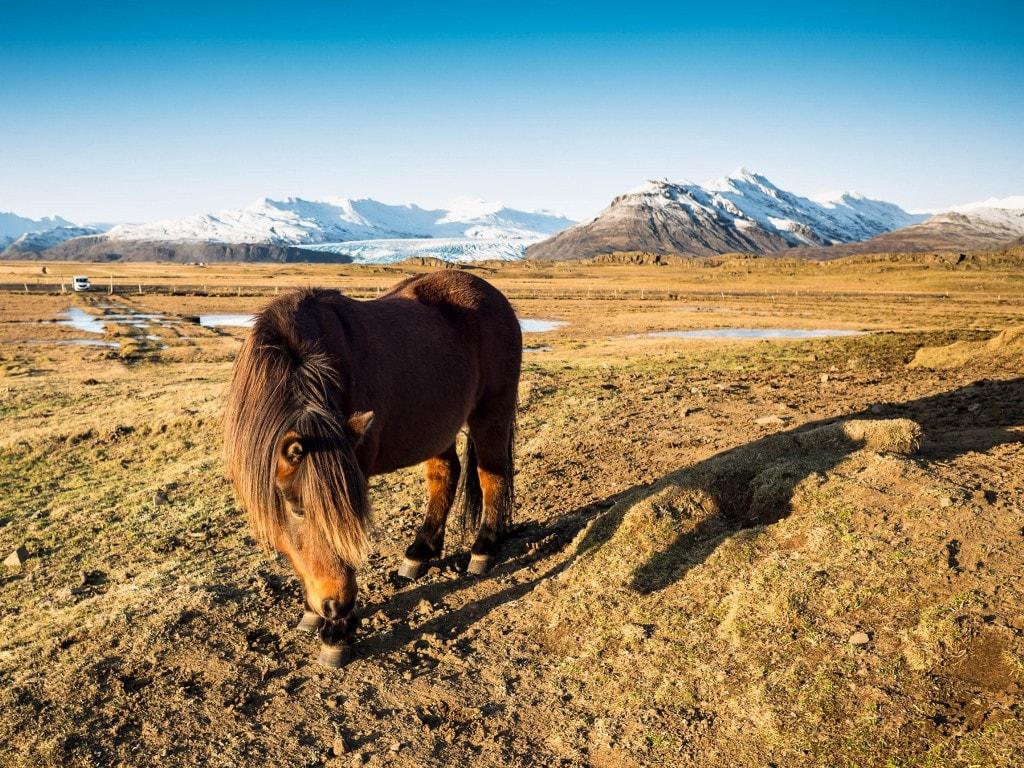 icelandic horse in stunning autumn scenery