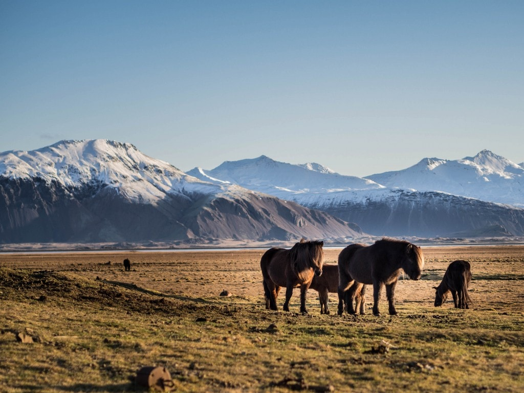 horses in icelandic  winter day