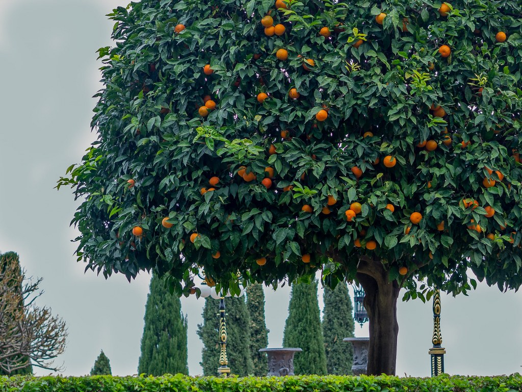 green_trees_with_oranges