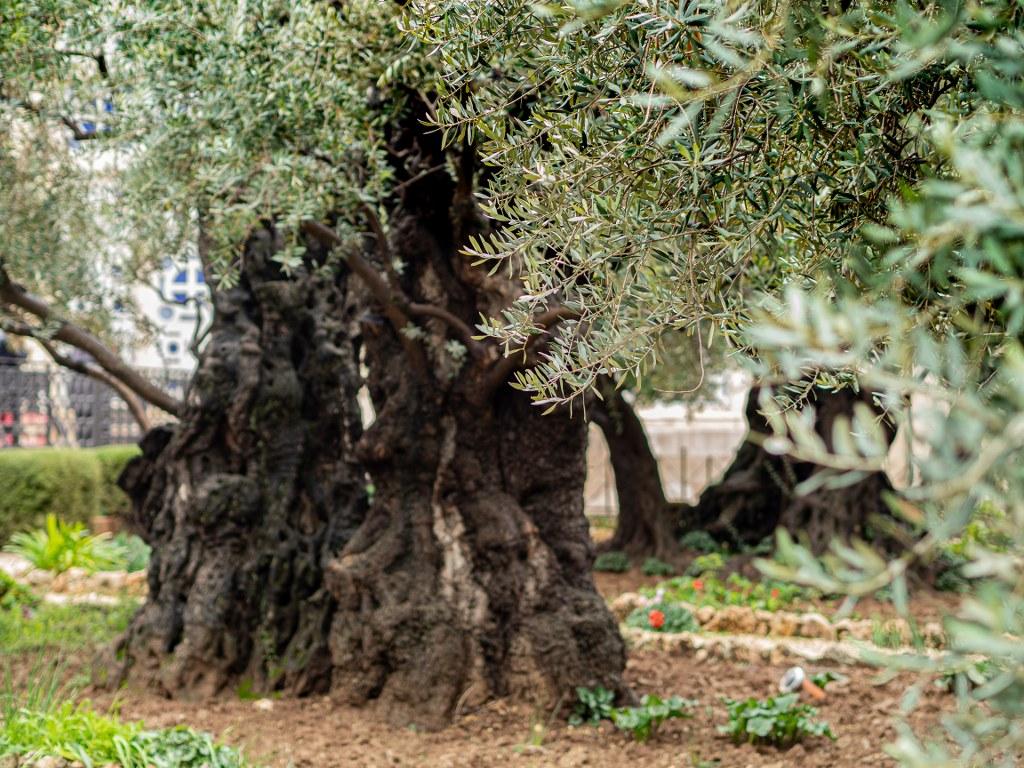 olive_trees_in_jerusalem