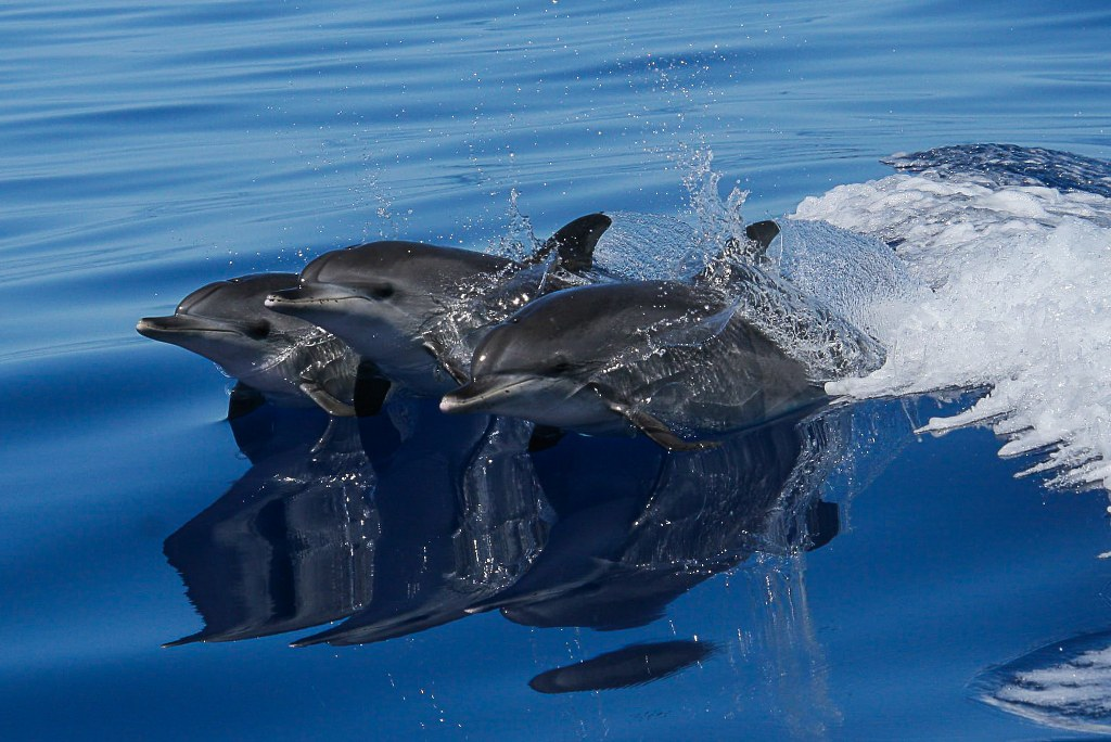 three_dolphins_jumping_over_water_surface_1024x684