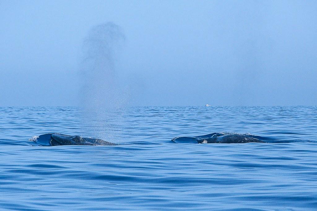 two_whales_in_atlantic_ocean_1024x683