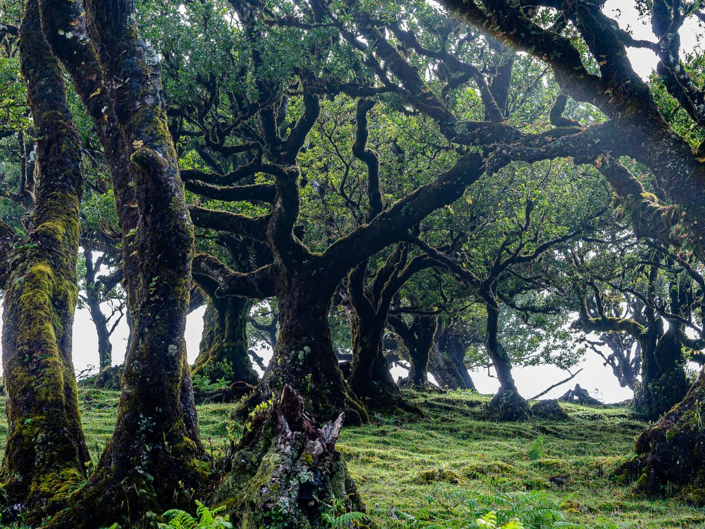 fanal_old_forrest_in_madeira