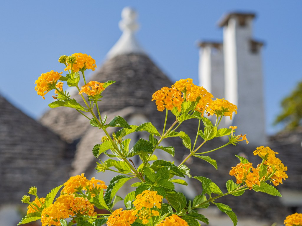 orange_blumished_flowers_in_front_of_trulli_in_puglia_in_italy
